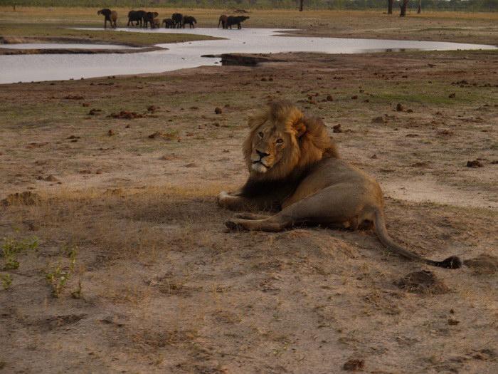 10 фотографий льва Сесила