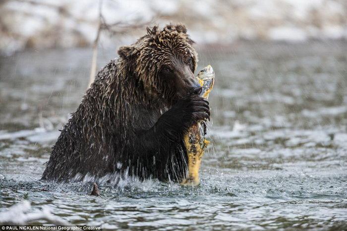 Жизнь медведей Канады в фотографиях Paul Nicklen