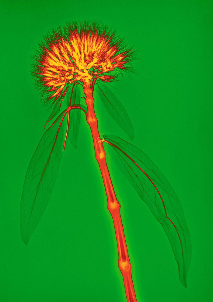 Рентгеновские иллюстрации цветов Aleks Reba