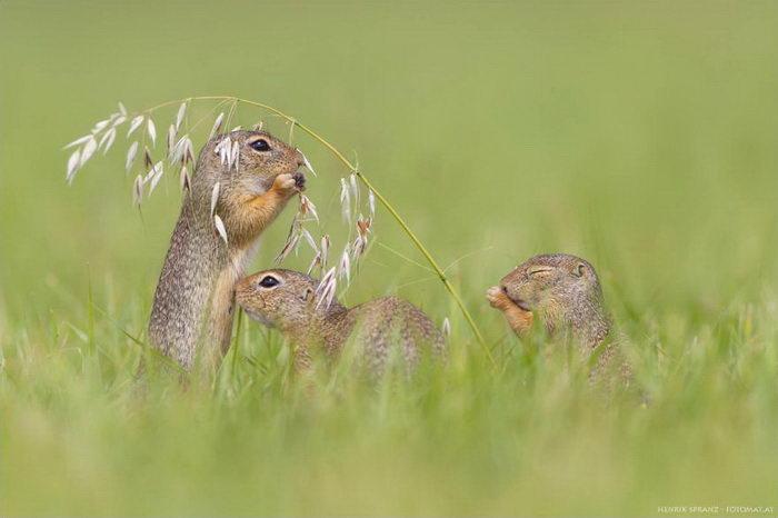 Жизнь сусликов в фотографиях Henrik Spranz