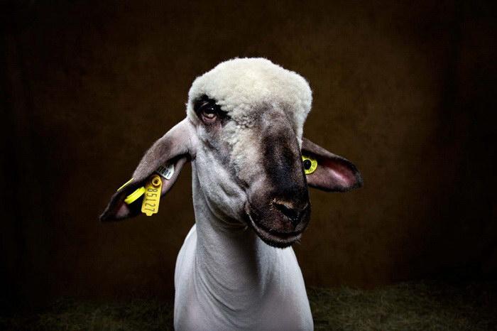 Овцы в фотографиях Vincent Musi