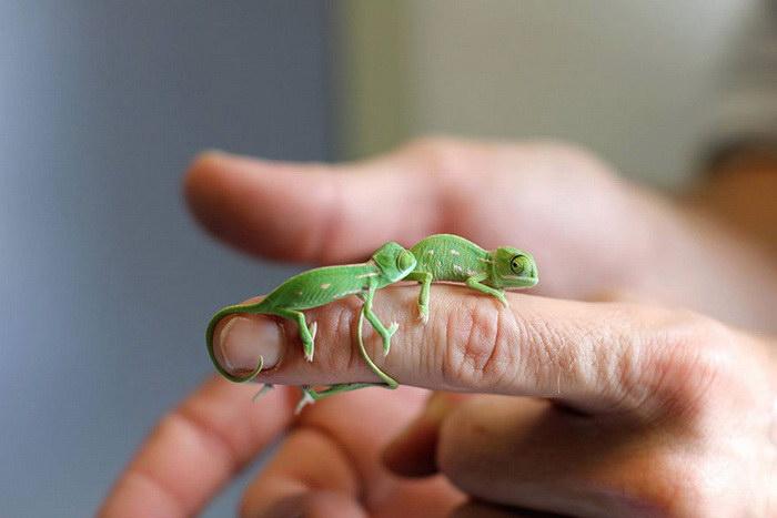 Малыши хамелеонов вылупились в зоопарке Сиднея