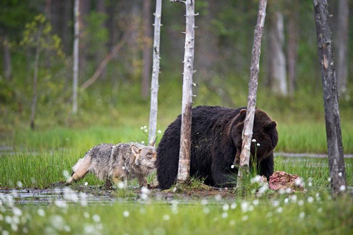 Необычная дружба волка и медведя