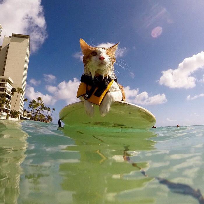 Одноглазный котик Кули, который занимается серфингом на Гавайях
