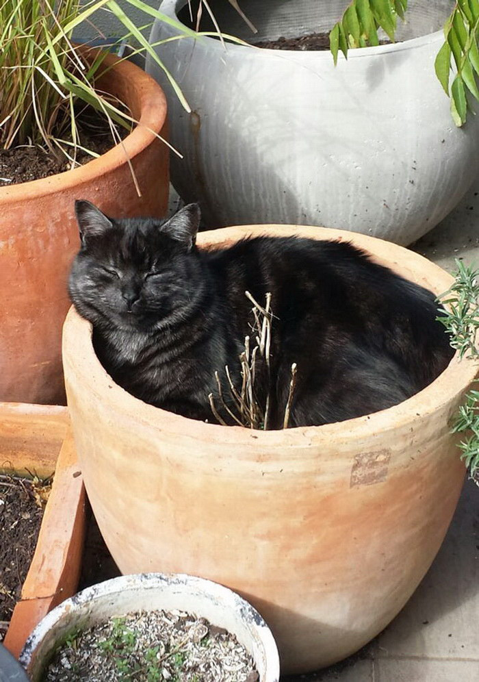 30 кошек, которые обожают спать в горшках для цветов
