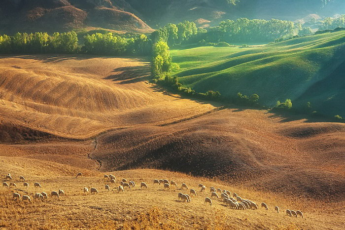 Овечьи стада в Тоскане
