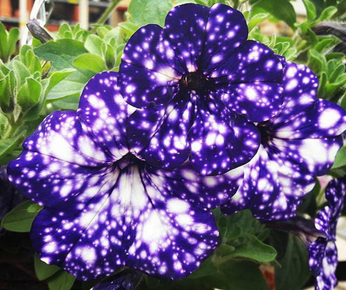 Космическая петуния: настоящие звезды в вашем саду
