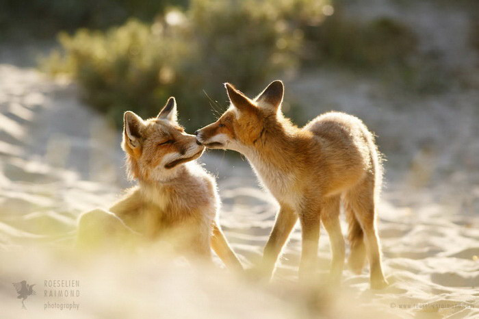 Влюбленные лисички в фотографиях Roeselien Raimond