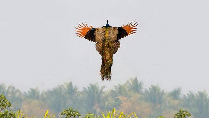 Редкие фотографии павлина в полете