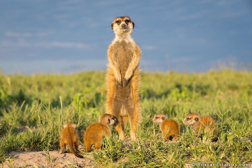 Дружелюбные сурикаты в фотографиях Will Burrard-Lucas