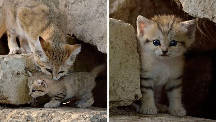 Барханные кошки: красивые, грациозные и вечно молодые
