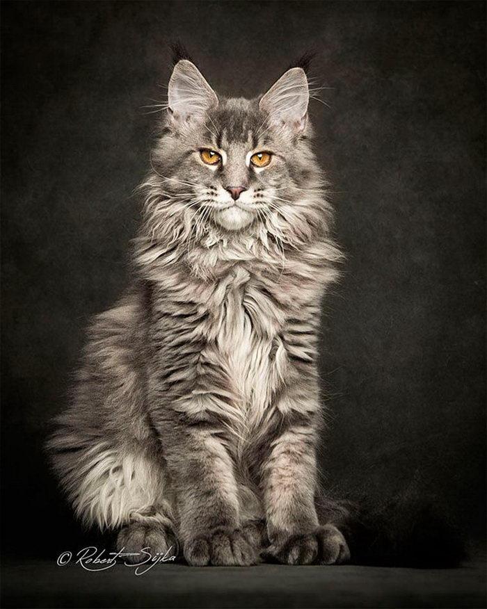 Красота мейн-кунов в фотографиях Robert Sijka