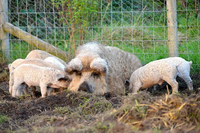 Свиньи породы Мангалица: шерсть овцы и характер собаки