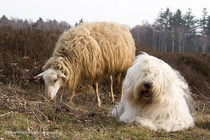 Фотогеничные пастушьи собаки все делают вместе
