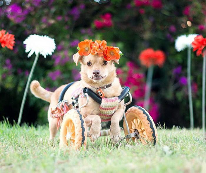 Дейзи — жизнерадостная собака с парализованными лапами