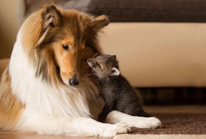 Потрясающая дружба собаки и лисенка
