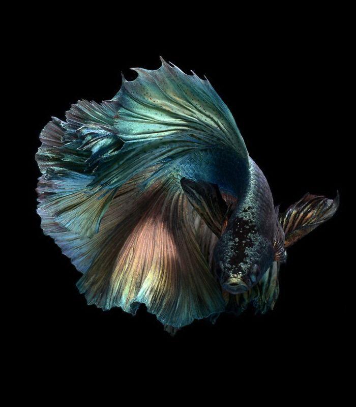 Бойцовские рыбки в фотографиях Visarute Angkatavanich