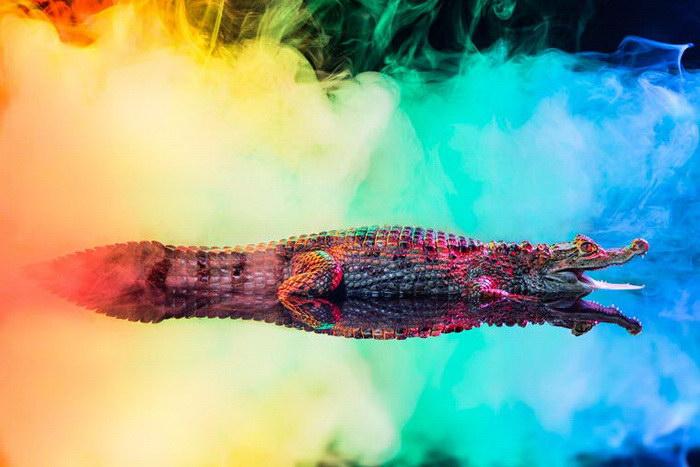 Яркие кайманы: фотографии Andrew McGibbon