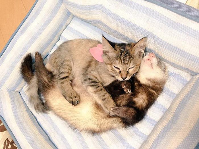 Удивительные фотографии котенка, воспитанного хорьками