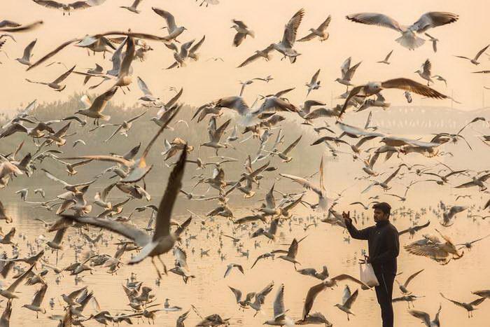 Миграция сибирских чаек в фотографиях Navin Vatsa