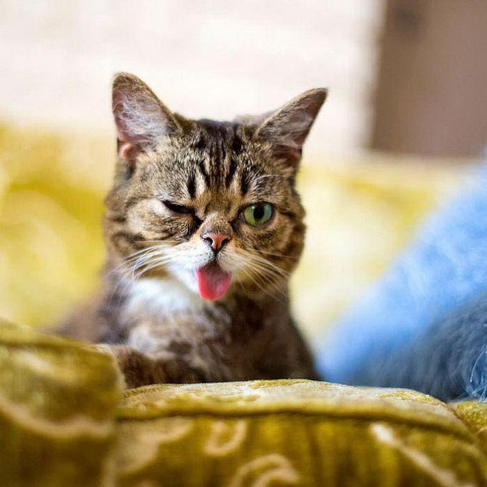Самый милый в мире котик Lil Bub