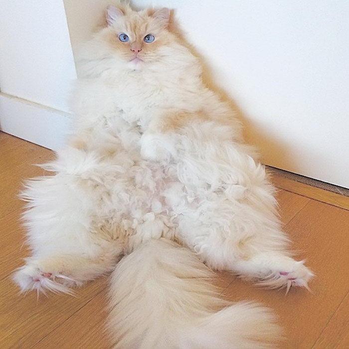 Невероятный кот, который утопает в собственной шерсти