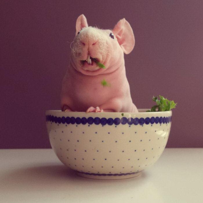 30 фотографий лысой морской свинки Людвига