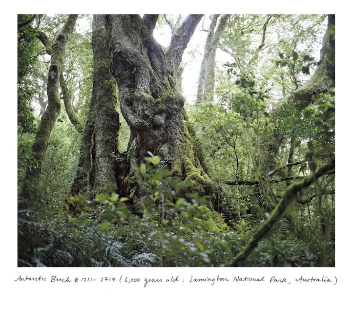 Самые старые деревья и растения в мире