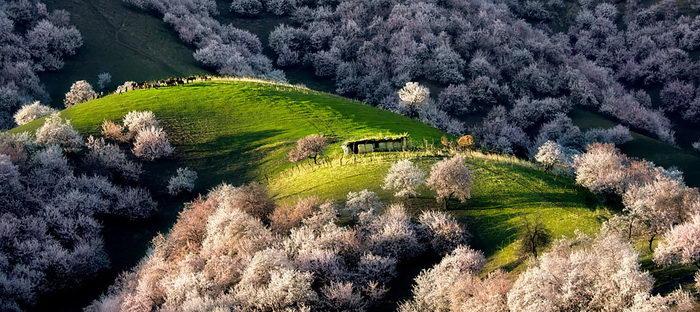 Цветение абрикосовых деревьев в Китае