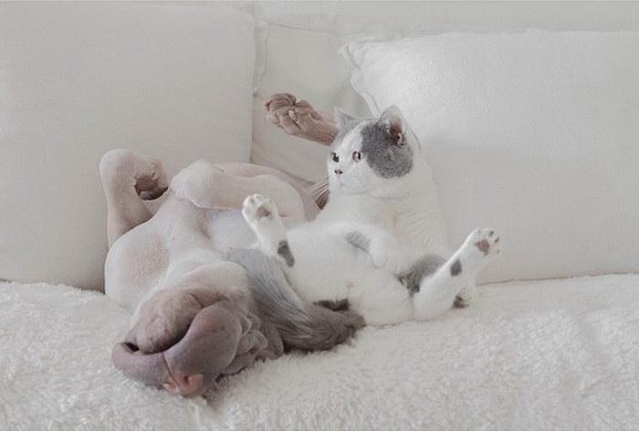 Невероятные друзья: шарпей и кошка