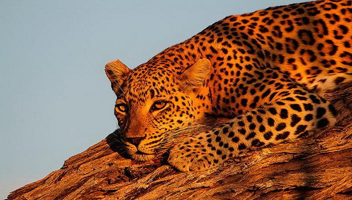 Красивый леопард из Ботсваны