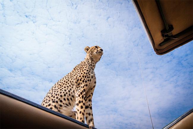Гепард зашел в гости к туристам во время сафари-тура