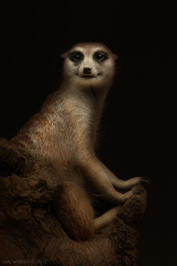 Животные Cally Whitham