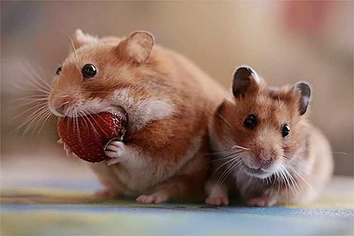 15 животных, кушающих клубнику