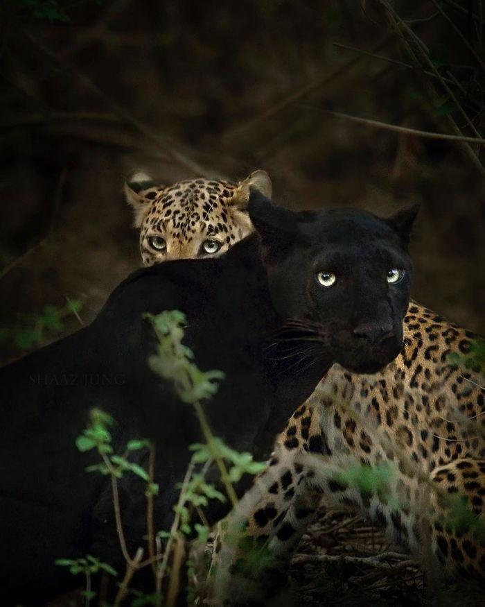 Черная пантера в снимках Shaaz Jung