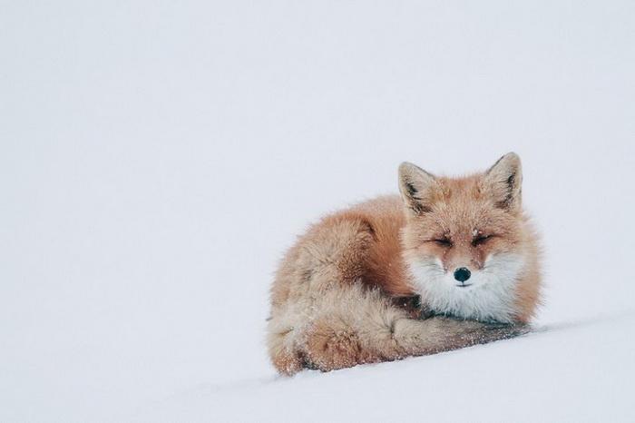 Лисы в фотографиях Ивана Кислова