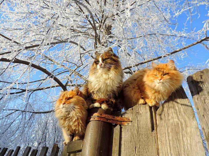 Сибирские кошки Аллы Лебедевой