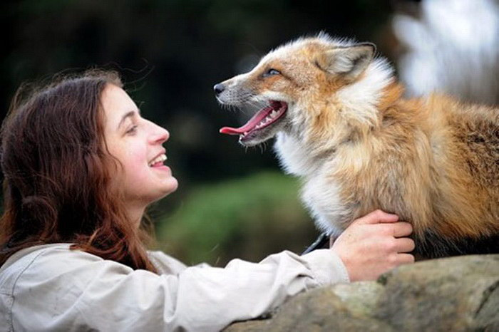 Спасенная лиса ведет себя как домашняя собака