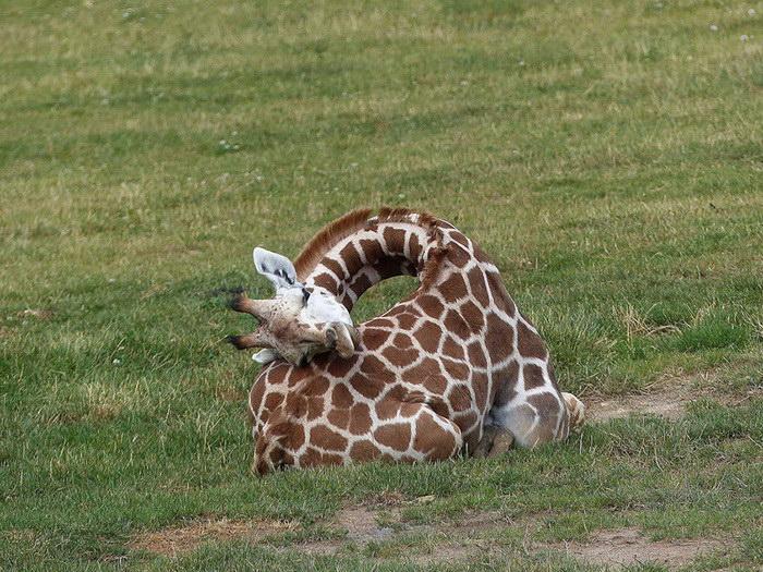 Как спят жирафы?
