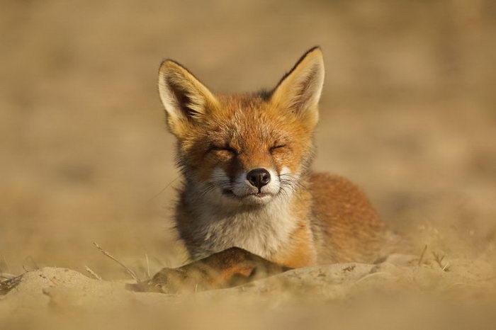 Лисички, живущие в дюнах Нидерландов: фото Laurens De Haas