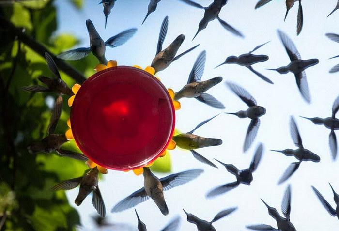 Колибри над поилкой: фотоколлаж Brian Maffitt