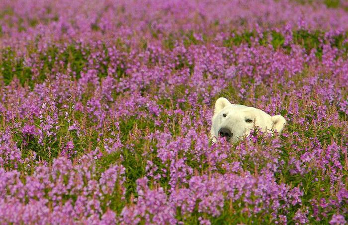 Белые мишки в цветочной поляне: фотографии Dennis Fast