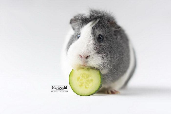 Морская свинка по имени Мипс