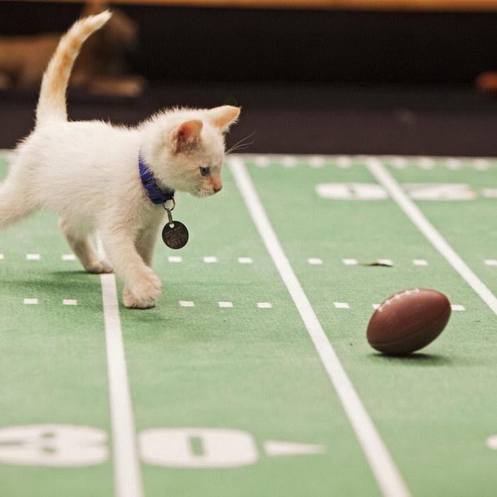 Чемпионат по кошачьему футболу Kitten Bowl