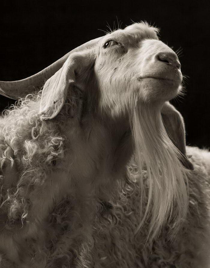 Козлы и овцы в фотостудии: проект Kevin Horan