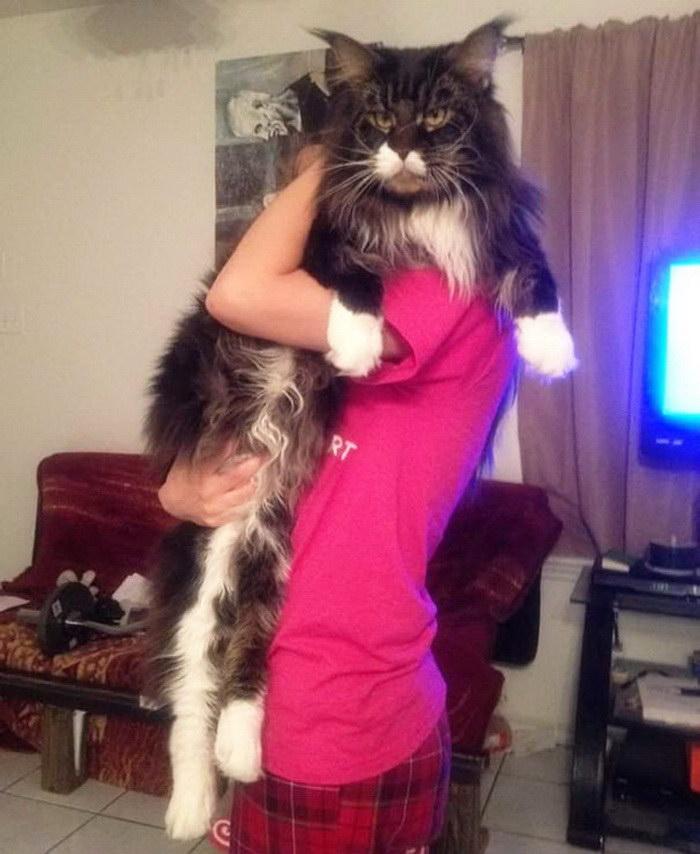 20 самых гигантских котов в мире