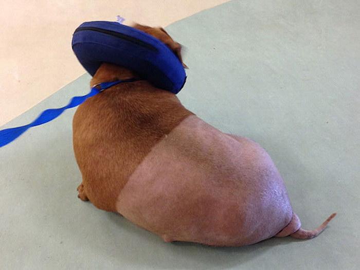 Собака по имени Дэннис, которая похудела на 79% от массы своего тела