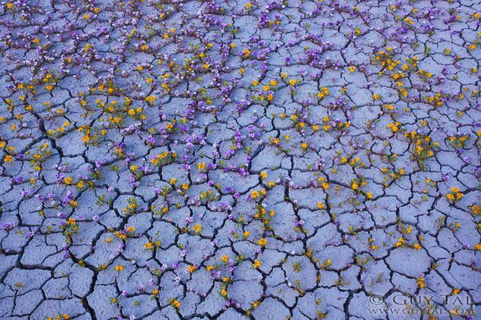 Цветущая пустыня в фотографиях Guy Tal