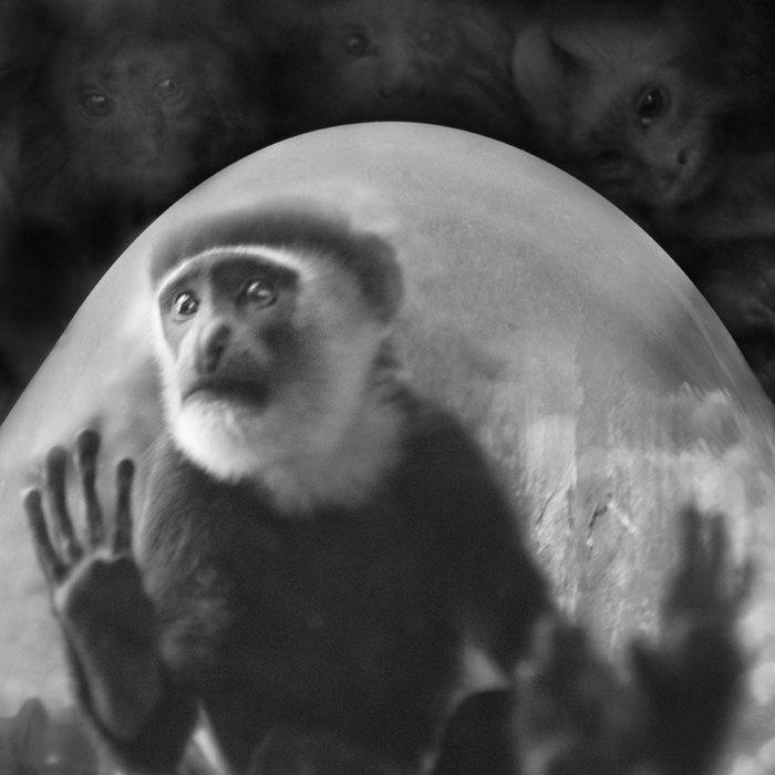 Запертые в неволе приматы: фотографии Anne Berry