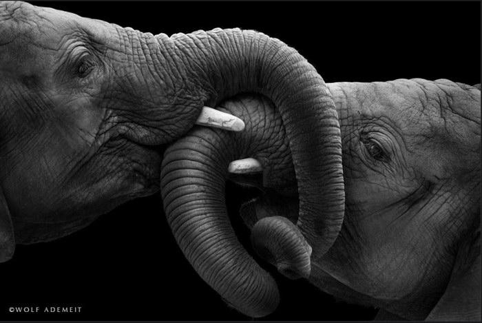 Фотографии слонов Wolf Ademeit